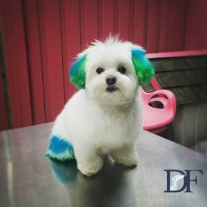 Pashmac after creative grooming